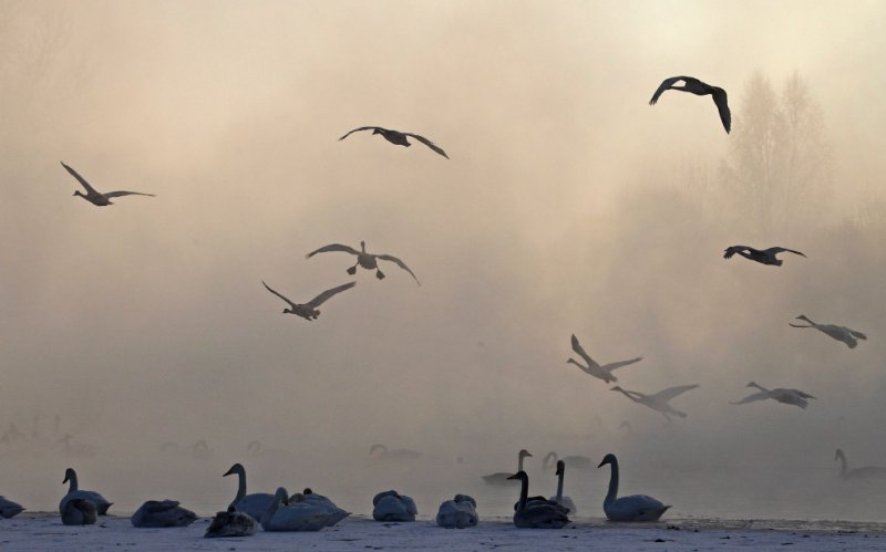 Лебеди на озере в Алтайском крае