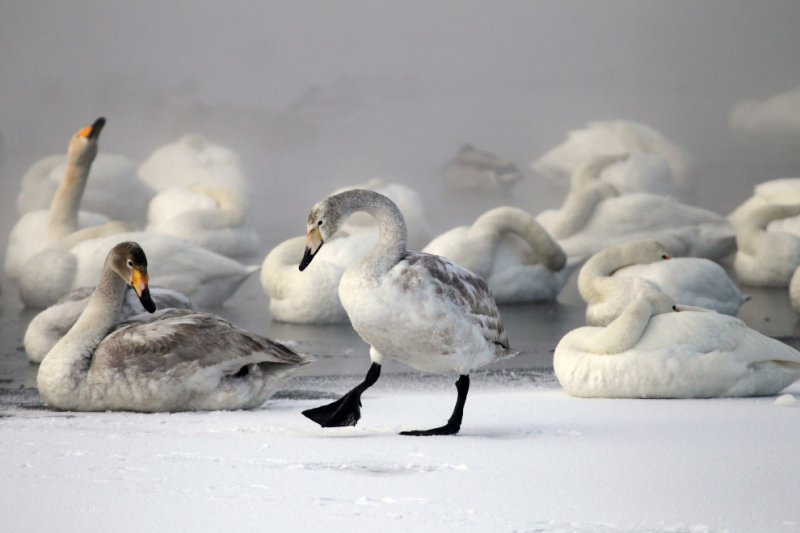 Лебеди на озере зимой в Алтае