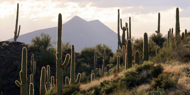Кактусы в пустыне Сонора