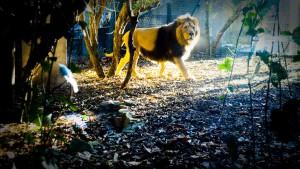 Лев в Лондонском зоопарке