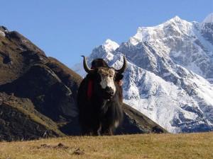 Животный мир Гималаев