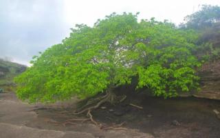 Дерево, которое убивает всё живое