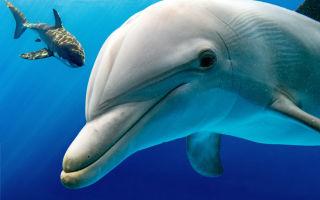 Из-за чего акулы боятся дельфинов