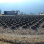 Лавандовое поле после сбора