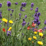 Цветок - Лаванда