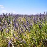 Цветы Лаванды в Провансе