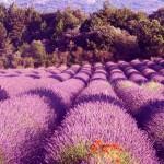 Необычно красивые серенивые Лавандовые поля
