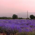Лавандовые поля на закате, Прованс