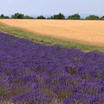 Лаванда и пшеницы в Провансе