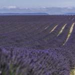 Лавандовые поля Франции, лето 2014 года