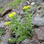 Цветы Алтайского края