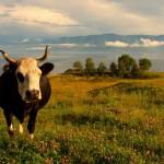 Байкальская корова на фоне озера, Сибирь, Россия