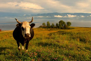 Байкальская корова, Сибирь, Россия