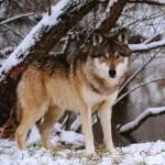 Волк на территории Баргузинского заповедника
