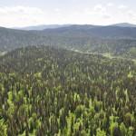 Черневая тайга Алтайского заповедника
