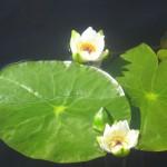 Кувшинка чистобелая Nymphaea candida J. et c. Presl. занесена в Красную книгу Красноярского края
