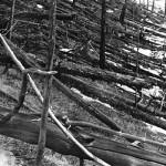 Начало лета 1929 года. Сплошной вывал деревьев в 5 км к югу от эпицентра на берегу реки Хушма.