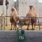 Верблюды в Лондонском зоопарке
