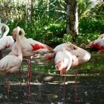 Фламинго в лондонском зоопарке
