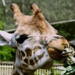Жираф, Лондонский зоопарк