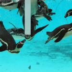 Пингвины Лондонского зоопарка