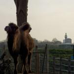 Верблюды, зоопарк в Лондоне
