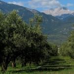 Оливковая роща на фоне пика Митикас, Греция