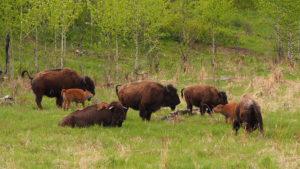 Стадо лесных косматых бизонов